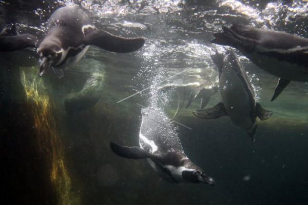Hari pinguin sedunia