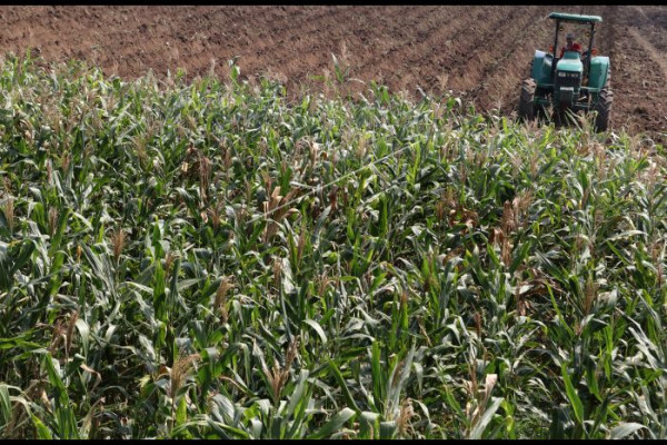Petani jagung tanam tebu