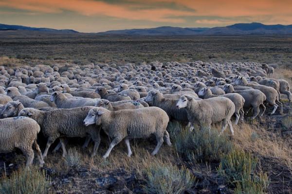 Saudi akan kirim 17.000 domba kurban untuk Indonesia