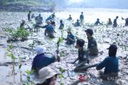 PLN - MMC - Khambec70 tanam 10.000 mangrove