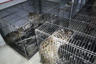 lsm apresiasi polisi gagalkan perdagangan kucing kuwuk