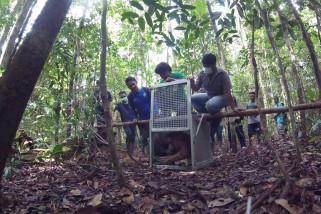 Pelepasan Orangutan di Hutan Lindung Gunung Tarak
