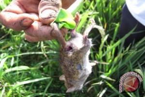 Hama Tikus Mulai Serang Padi Petani Kotabaru