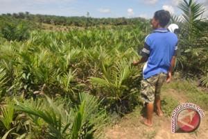 Sembilan Daerah Kalsel Dirambah Perkebunan Sawit