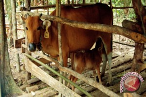 Disbunak Batola Targetkan Kebuntingan 715 Ekor Sapi