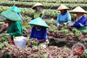 South Kalimantan Not Suitable For Onions