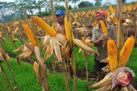 Tanah Laut designated as national corn granary