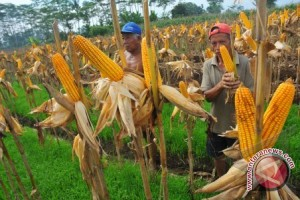 Tanah Laut designated as national corn granary