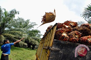 Oil Palm Income Down in Kotabaru