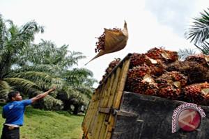 Pendapatan Petani Sawit Di Kotabaru Terus Merosot