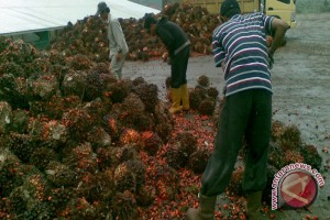 Oil Palm Farmers' Revenue Down in Kotabaru