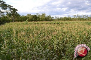 Kotabaru to Plant 5,000 hectares Corn