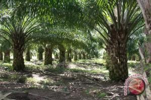Pendapatan Petani Plasma Sawit Nihil