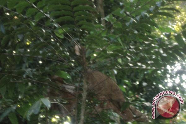 Ragam Obat Dan Ramuan Tradisional Banjar Kalsel