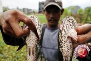 Distankan Banjarmasin Hentikan Program Budidaya Ikan Haruan