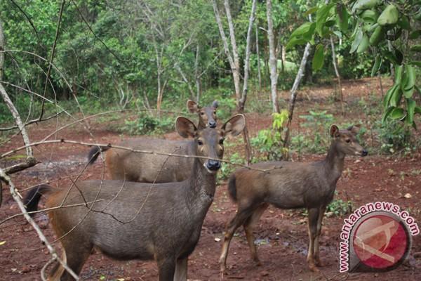 Five Sambars Survive in Pertamina