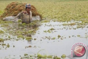 5.000 Hektare Lahan Lebak Tak Produktif