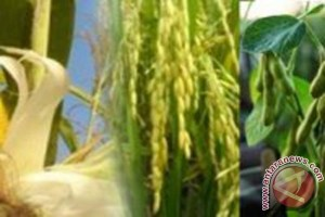 Tabalong accelerate maize development