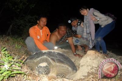 Populasi Penyu Di Pulau Sembilan Kotabaru Berkurang