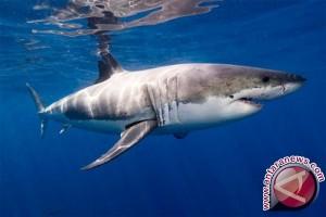 Pengelola Wisata Serangan Lindungi Hiu Sirip Putih