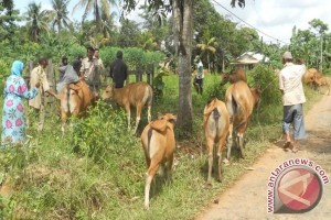 Tabalong Continues Cow-Oil Palm Program