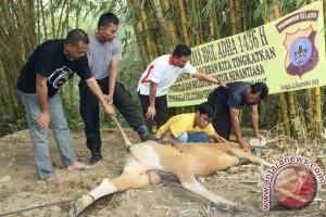 Polres Balangan Laksanakan Pemotongan Lima Hewan Kurban