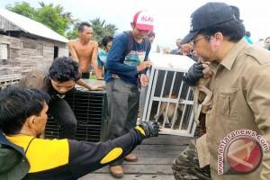 SBI 20 Kali Evakuasi Bekantan