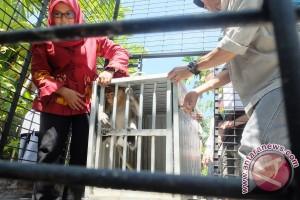 SBI Kalsel Evakuasi Bekantan Masuk Perumahan Mewah