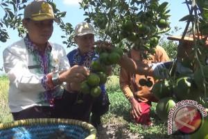 Pemkab Segera Sertifikasi Jeruk Barito Kuala