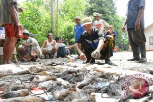 Banjar Farmers Hunt Rats