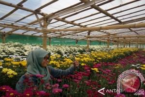 Pesona Kampung Krisan Bandungan Mulai Dilirik Wisatawan