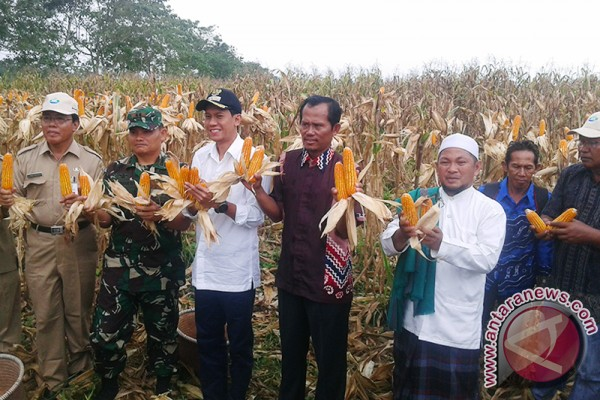 Perputaran Uang Penjualan Jagung Petani RP1,4 Triliun