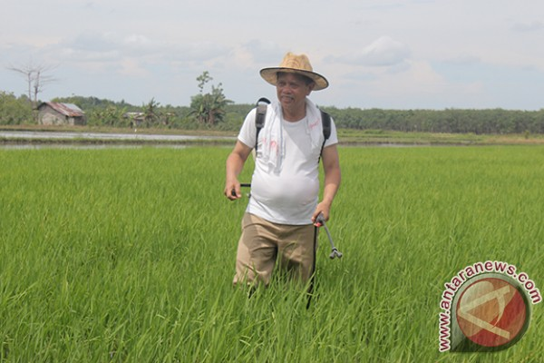 Tapin Highest Rice Contributor in South Kalimantan