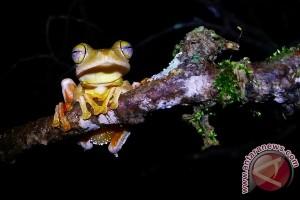 10 Persen Spesies Katak Indonesia Terancam Punah