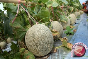 Banjarbaru to develops melon in botanical garden