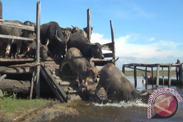 DPRD Kalsel Antisipasi Punahnya Kerbau Rawa dan Itik Alabio