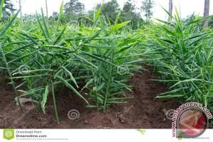Petani Kembangkan Tanaman Jahe