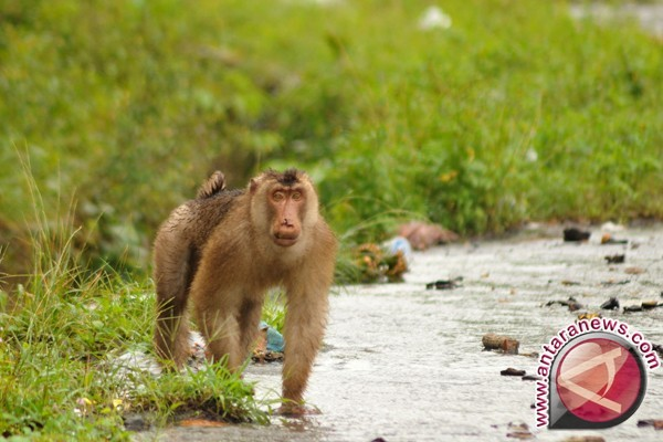 Hectares paddy attacked by short-tailed macaque