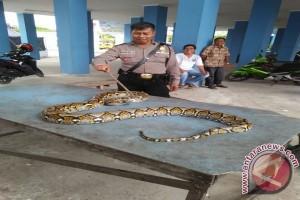 DPKP Kotabaru Tangkap Piton Tiga Meter Resahkan Warga