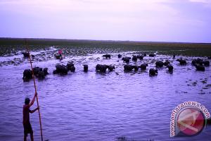Kembalikan Destinasi Wisata Kerbau Rawa