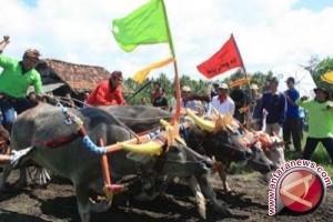 Ribuan Orang Saksikan Pacuan Kerbau Khas Jembrana