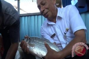 HSU Berhasil Budidayakan Ikan Lokal 'Raksasa'