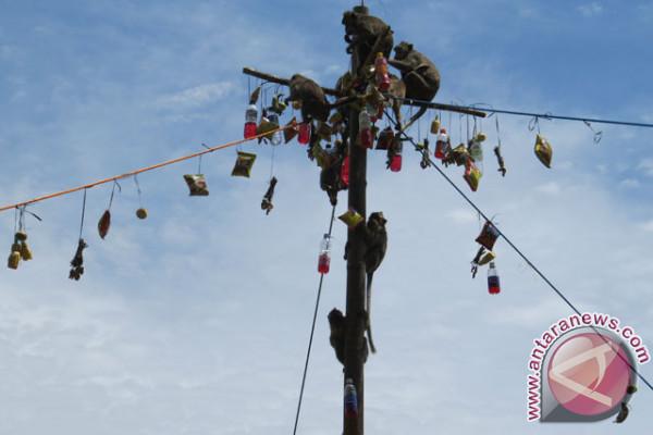 Sekitar 2.000 Ekor Kera Huni Alas Kedaton