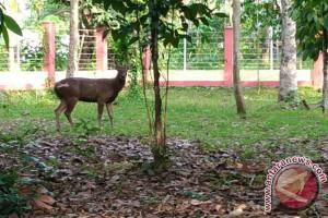 Hutan Kota Rantau Kedatangan Sepasang Rusa
