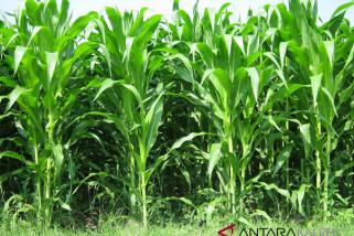Tala Targetkan  Tanam Jagung 50.000 Hektare