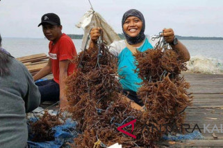 Timur Kalsel Berpotensi Pengembangan Rumput Laut