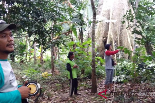Kemenhut Teliti Pohon Raksasa Mentoyan Halong