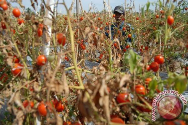 Tak Ada Harganya, Tomat  Dibiarkan Membusuk di Pohon