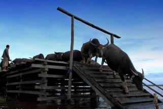 HSU Siapkan Destinasi Wisata Kerbau Rawa