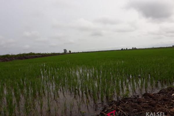 Farming in Sungai Batang begins to thrive